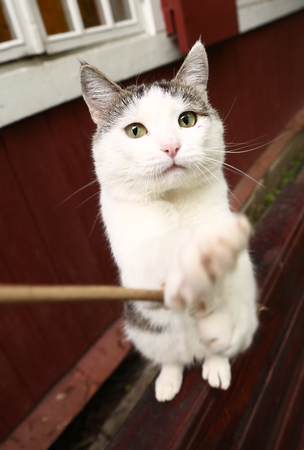 stretch out: funny photo of siberian cat playing stretch out paw