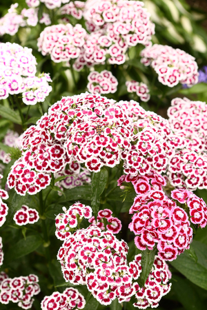fres: wild carnation pink flowers close up photo Stock Photo