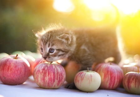 little kitten on the autumn apples harvest outdoor sunny country