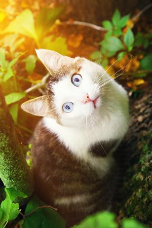 blue eyed cat hunting close up portrait