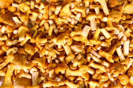 screen savers: chanterelle mushrooms small background color horisontal photo