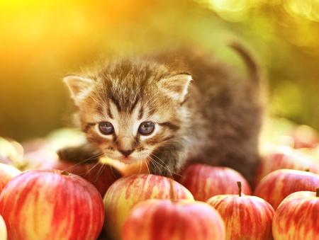 little kitten on the autumn apples close up portrait