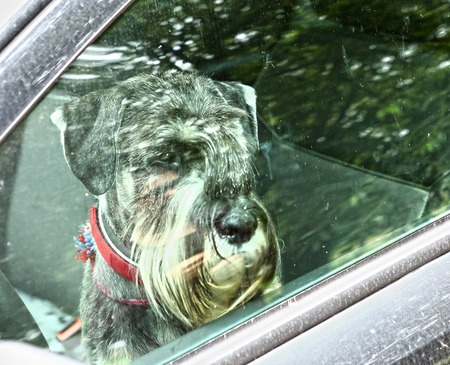 a situation alone: mittel schnauzer dog left alone in car close up photo throuth the window Stock Photo