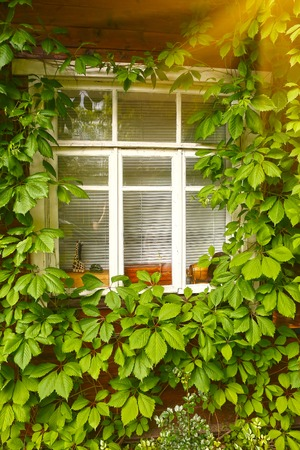 twined: close up photo of old house window and wild grape leafs