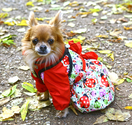 cute chihuahua she dog in red printed street dress in the fall background