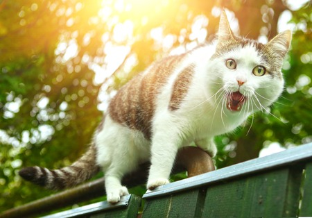 hiss: cat with open mouth on the fence close up photo Stock Photo
