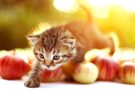pat down: little kitten on the autumn apples background Stock Photo