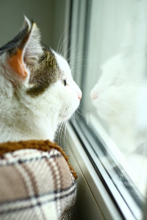 reflexion: cat look throuth the window close up photo with reflexion