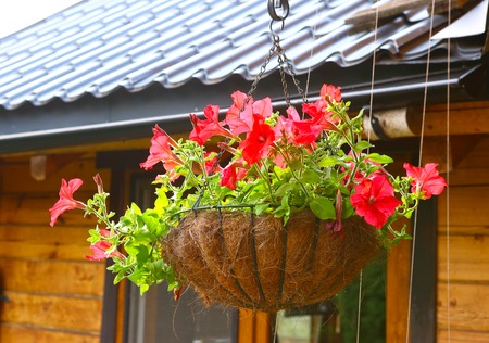 hanging flowers: Petunia Flowers In Hanging Flower Pot basket close up