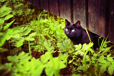 black cat on the grass and fence village summer background