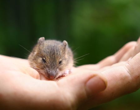 forest birch mouse Sicista betulina small on the palm of a person