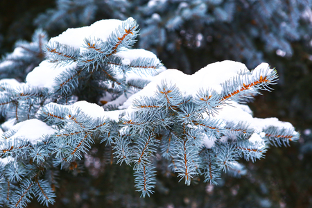 blue spruce tree branches covered with snow close up photo