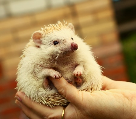 spiny: dwarf hedgehog in human hand close up photo Stock Photo