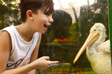pelikan: teenager boy in zoo with white pelikan close up photo