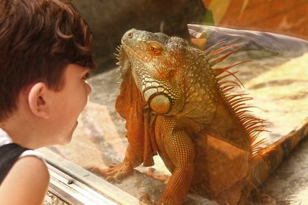 boy admire iguana lizard through the glass in zoo