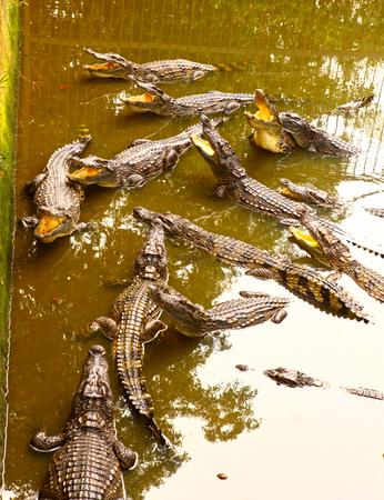 crocodiles in pool on crocodile farm in vietnam