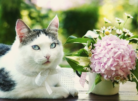 blue eyed cat with hydrangea pink bouquet close up photo on the summer background Stock Photo