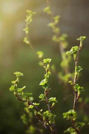 spring black currant bush close up opening leaf