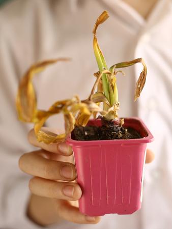 鍋植物枯れた手クローズ アップ写真子供の乾燥