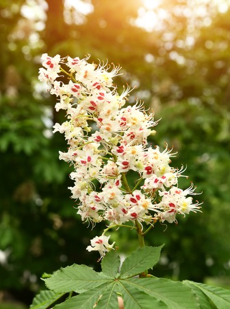 chestnut tree flowers close up photo on summer green bacground