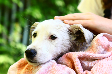 wash: human hand stroking white puppy in towel after wash close up outdoor summer photo