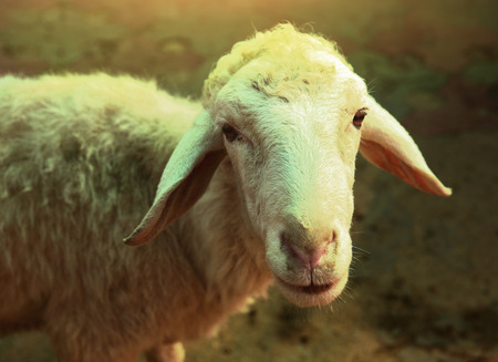 white sheep close up portrait on summer green background