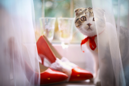 scottish fold kitten with bridal red shoes and wine glasses on window sill wedding compostion photo