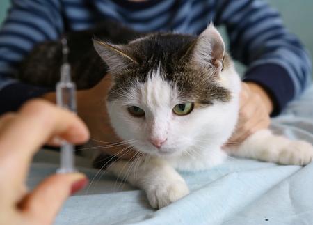 kat op dierenarts kabinet voor vaccinatie met spuit in dokters hand Stockfoto