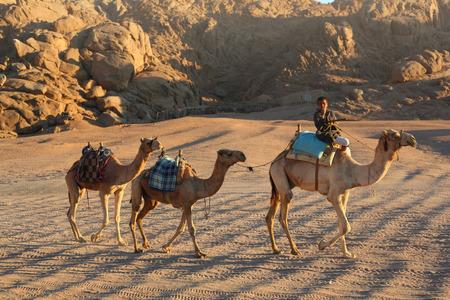 Egypt, Hurghada, Januar 13, 2015: Egyptian bedouin ride camel caravan through the desert on sunset in Egypt, Hurghada, Januar 13,2015.