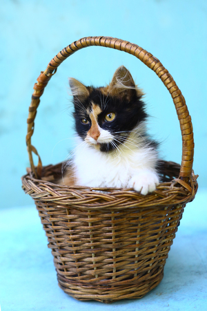 three colored kitten in wicker basket close up photo on blue background Stock Photo