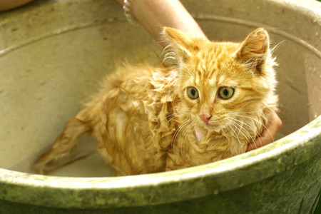 red hair little wet kitten been wash in human hands on the summer green garden background in basin Stock Photo