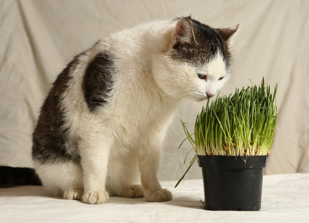 tom male funny cat eating grass from pot close up photo Stock Photo