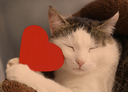 cat with closed eyes hold paper red heart with copy space close up portrait to valentines day Stock Photo