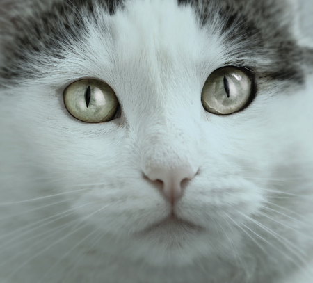 blue-eyed cat close up portrait with direct look Stock Photo
