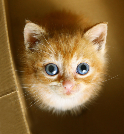 red little one month kitten with blue big eyes look up from cardboard box close up photo