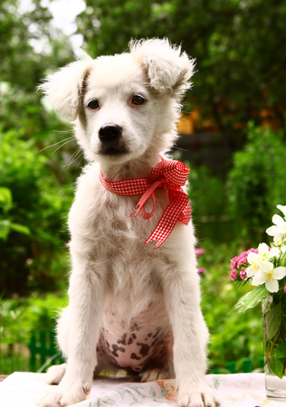 white she puppy with red bow close up sit photo on summer green floral background