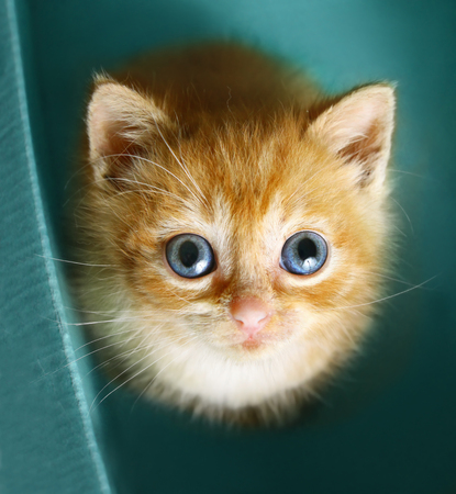 blue eyed red haire kitten look up sit in the cupboard box