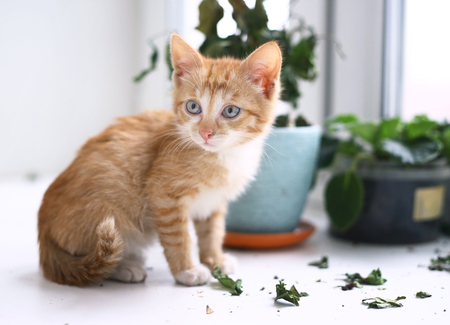 noughty red kitten ruined pot plants close up photo on window background