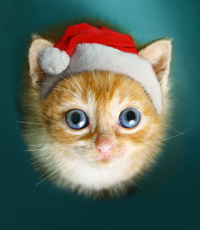 blue eyed red hair kitten look up sit on blue background in santa christmas hat Stock Photo