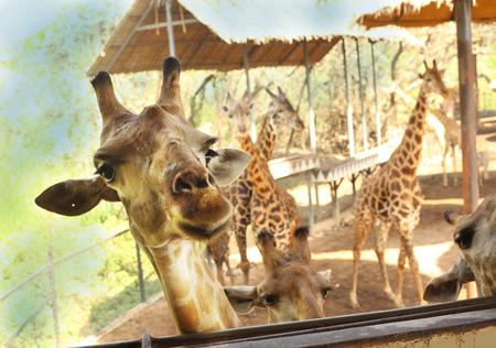 giraffe in asian thai outdoor zoo park close up feeding photo