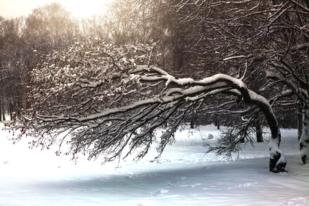 bent tree covered with snow in winter snowy park close up photo Stock Photo