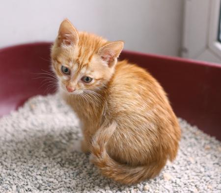red kitten in cat litter having toilet close up photo