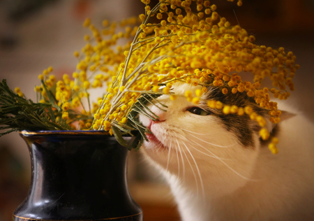 cute funny cat gnaw chew mimose flowers in vase close up horizontal photo