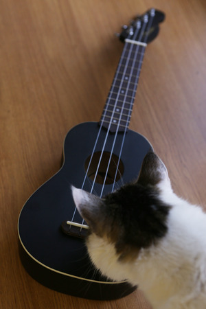 ululele guitar close up photo with sniffing cat Imagens