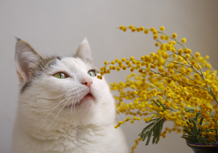 cute funny cat close up portrait with mimose flowers on windowsill Stock Photo
