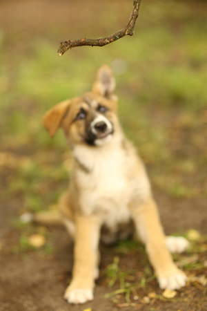 german shepherd puppy play on summer green outdoor background