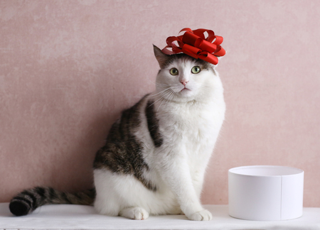 funny cat photo with gift box with red bow on head as a hat