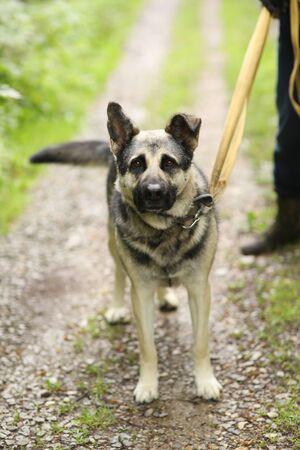 german shepherd dog on leash full body photo on summer green garden background Banco de Imagens - 127533953