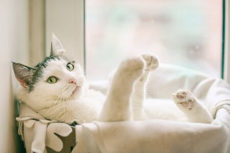 funny cat photo of white cat in the box pur in cat bed with paws outstretched on window background