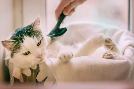 funny photo of white cat pur in cat bed with paws outstretched with humand hand hold brush grooming Banco de Imagens